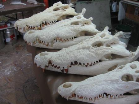 Saltwater Crocodile Skulls prepared for display Crocosaurus Cove Darwin