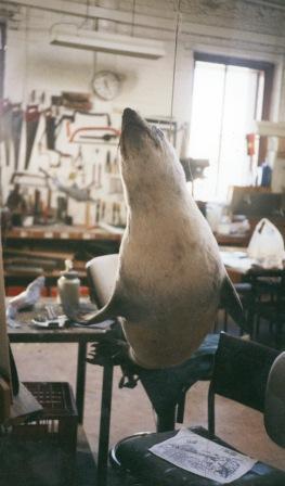 Australian fur seal mount Prepared by Ewin Wood in the Old Preparators Workshop Museum of Victoria